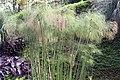 Cyperus papyrus 27zz.jpg
