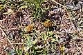 Cyperus volckmannii Phil. (31447350338).jpg