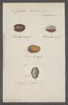 Cypraea helvola - - Print - Iconographia Zoologica - Special Collections University of Amsterdam - UBAINV0274 088 02 0068.tif