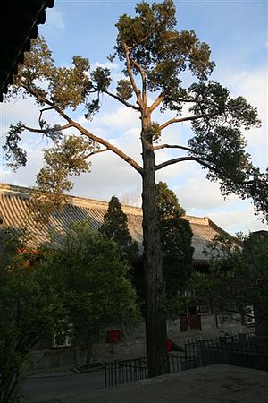 Bailin Temple (Beijing) - A view of Bailin Temple's inner yard in autumn, with one of the ancient cypress trees
