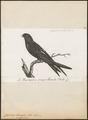 Cypselus caffer - 1796-1808 - Print - Iconographia Zoologica - Special Collections University of Amsterdam - UBA01 IZ16700093.tif