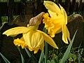 Daffodils (7269190).jpg