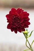 Dahlia pinnata (Dahlia commun) - 118.jpg