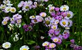 Daisy-fleabane - West Virginia - ForestWander.jpg