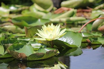 Dal lily.jpg