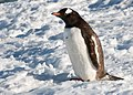 Danco Island Antarctica Gentoo Penguin 2 (47337033871).jpg