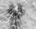 Dandelion Crystals (2597620436).jpg