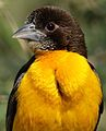 Dark-backed weaver, Ploceus bicolor, also known as the forest weaver at Ndumo Nature Reserve, KwaZulu-Natal, South Africa (28885335246).jpg