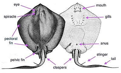 stingray wikipedia Stingray Internal Diagram stingray