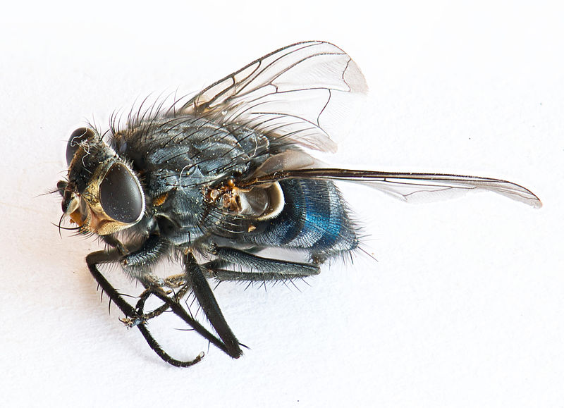 File:Dead Fly - Stacked Focus (3846374999).jpg