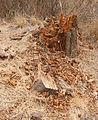 Decaying stump.jpg