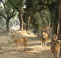 Deer in Sarnath.jpg