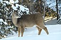 Deer in the Back Yard -- Drummond Island, Michigan in Winter - 49713974336.jpg