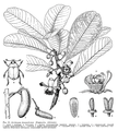 Degeneria vitiensis.png