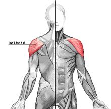 Где находится дельтовидная мышца рисунок