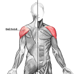 barbell row muscles worked include the posterior deltoids