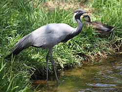 Demoiselle crane anthropoides virgo.jpg