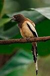 Dendrocitta vagabunda -India-8