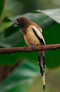 Dendrocitta vagabunda -India-8.jpg