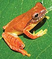 Dendropsophus bipunctatus IRDias2014 (cropped).jpg