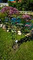 Der Wasserdost, lat. Eupatorium (Eupatorium Purpureum) 01.jpg