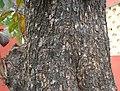 Desi Badam (Terminalia catappa) old trunk in Kolkata W IMG 2218.jpg