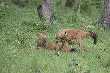 Dhole, Asiatic wild dogs in Bandipur National park.JPG
