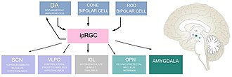 Intrinsically photosensitive retinal ganglion cells - Synaptic inputs and outputs of ipRGCs and their corresponding location in the brain.