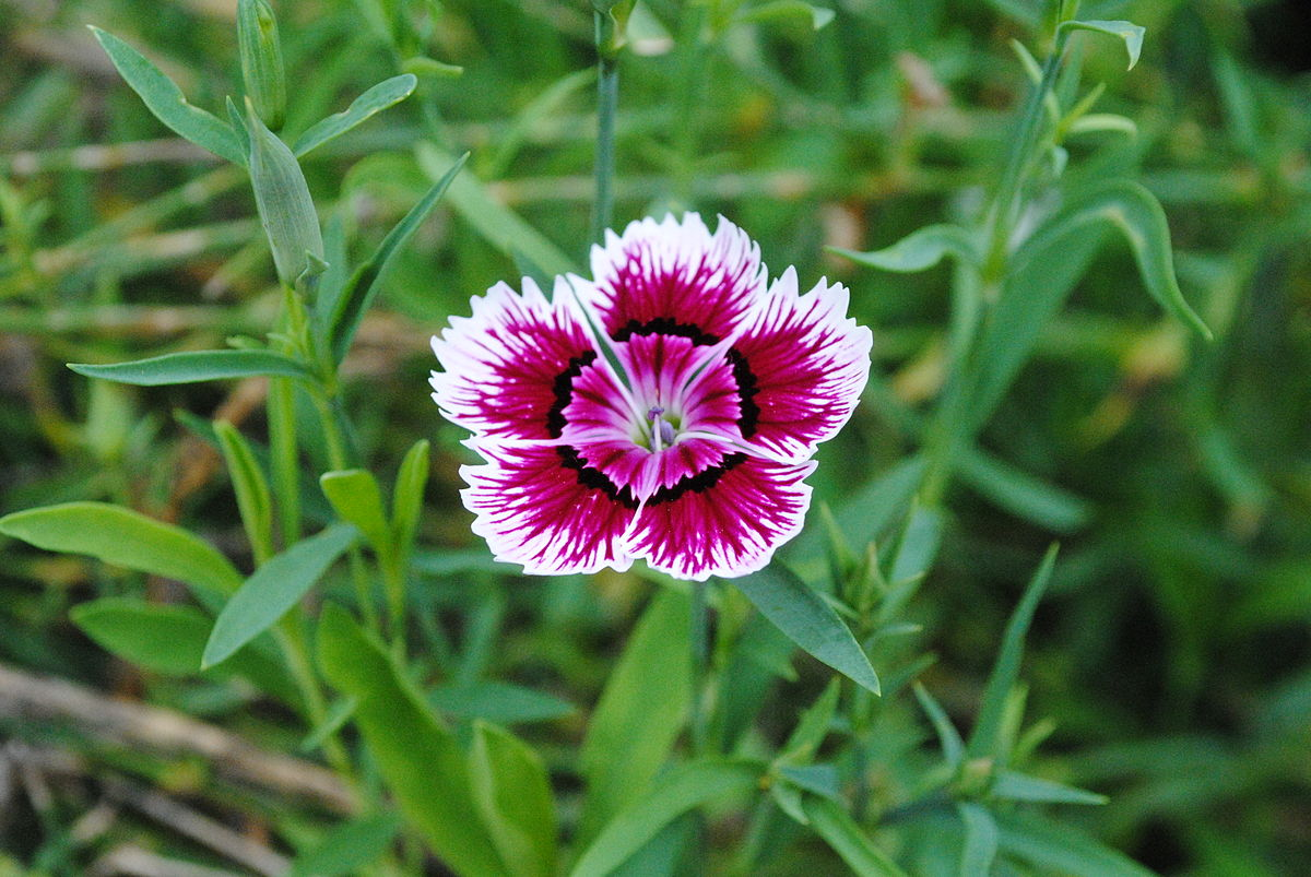 Dianthus Chinensis Wikipedia
