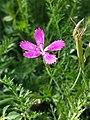 Dianthus deltoides sl26.jpg