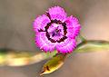 Dianthus zonatus - Rock-carnation - Kaya karanfili 2.JPG