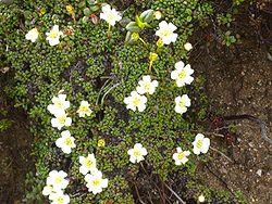 definition of diapensiaceae