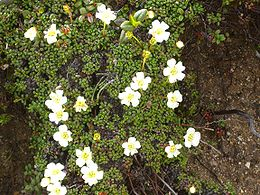 Diapensija (Diapensia lapponica)