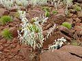 Dicrastylis gilesii var. bagotensis DJD2861 plant habit Hinckley Range.jpg