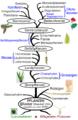 Die Phylogenie der Pflanzen.png
