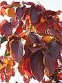 Diospyros kaki leaves 01 by Line1.JPG