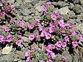 Diplacus bigelovii (A. Gray) A. Gray var. cuspidatus A. L. Grant 20000508 02.jpg