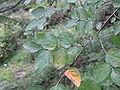 Diplomorpha sikokiana1.jpg