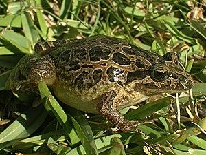 Alytidae - Image: Discoglossus galganoi rechts
