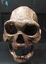 Dmanisi fossils D 3444 + D 3900 (Replika).jpg