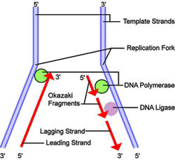Lagging strand during DNA replication