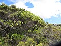 Dodonaea viscosa Jacq. (AM AK330062-5).jpg