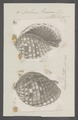 Dolium pomum - - Print - Iconographia Zoologica - Special Collections University of Amsterdam - UBAINV0274 085 05 0006.tif