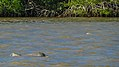 Dolphin in the Commewijne river (31239527565).jpg