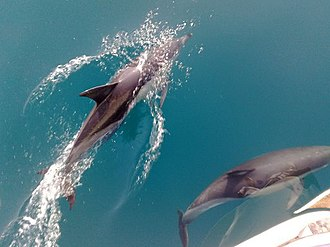 Short-beaked common dolphin - Bow-riding dolphins off Ashdod, Israel