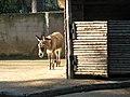 Donkey (3354680229).jpg