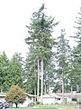 Douglas-fir.jpg
