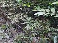 Dracaena terniflora (8287240768).jpg