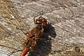 Dragonfly (10499122734).jpg