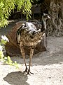 Dromaius novaehollandiae - Emu - émeu - 02.jpg